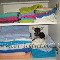 toy-terrier_031