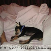 toy-terrier_032
