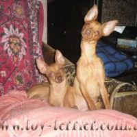 toy-terrier_033